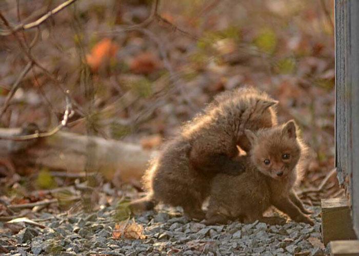 baby-fox-photos-found-in-backyard-6