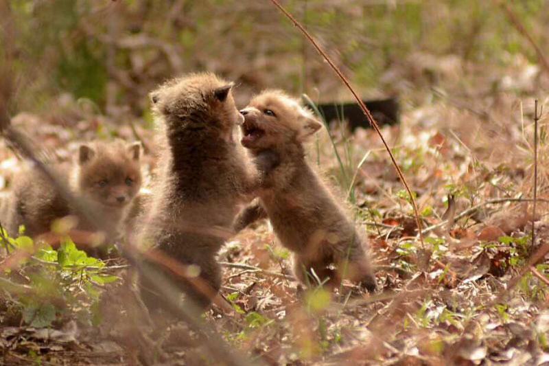 baby-fox-photos-found-in-backyard-7
