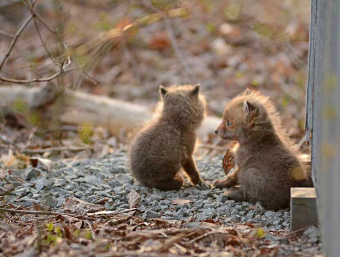 baby-fox-photos-found-in-backyard-9