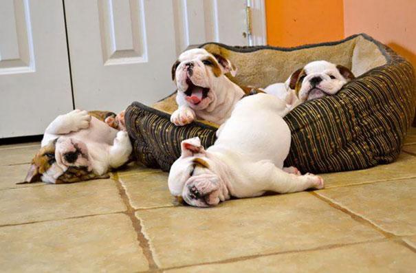 Resultado de imagen para bulldog puppies pictures