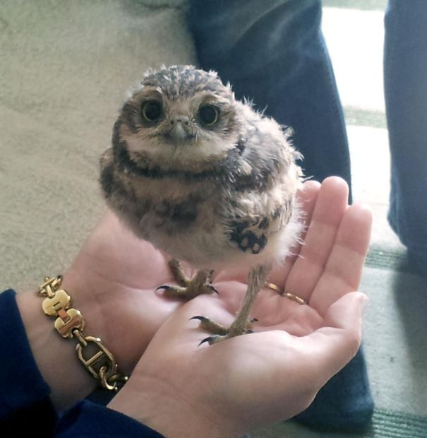 Owlet In Palm