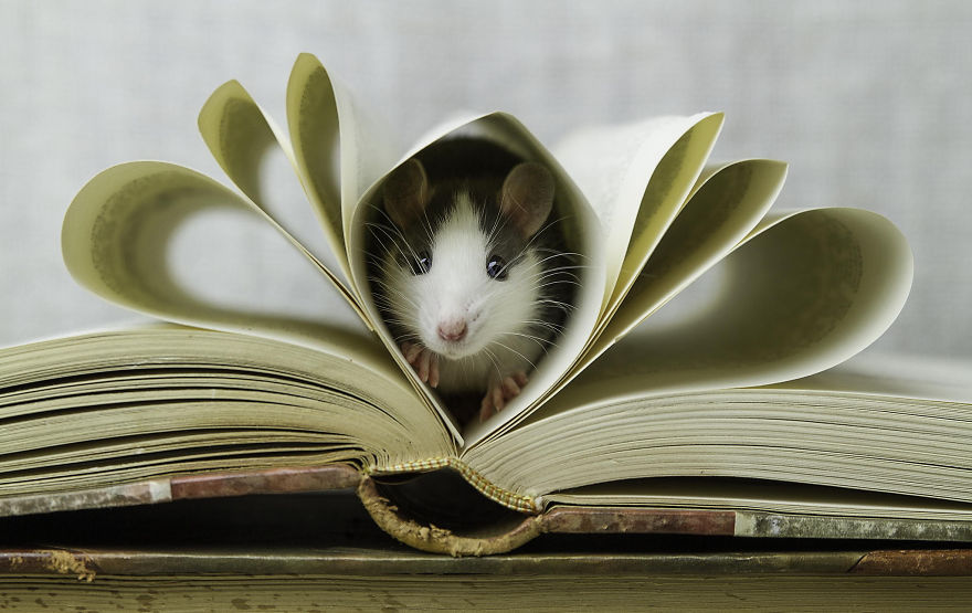 202 Adorable Rat Pics Proving That They Can Be The Cutest Pets Ever Bored Panda