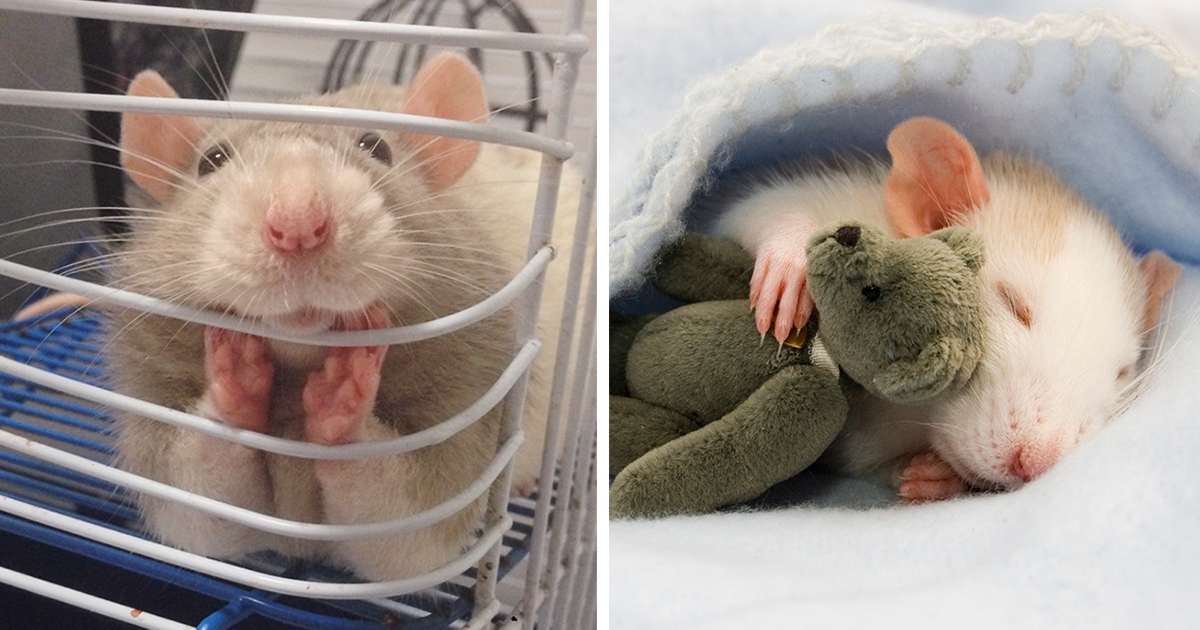18+ Adorable Rat Pics Proving That They Can Be The Cutest Pets Ever