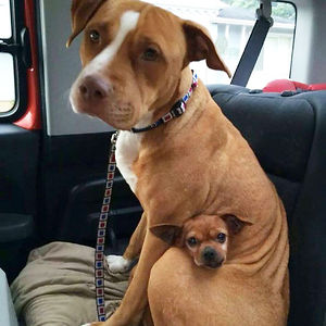 Pit Bull And A Chihuahua Who Got Adopted Together
