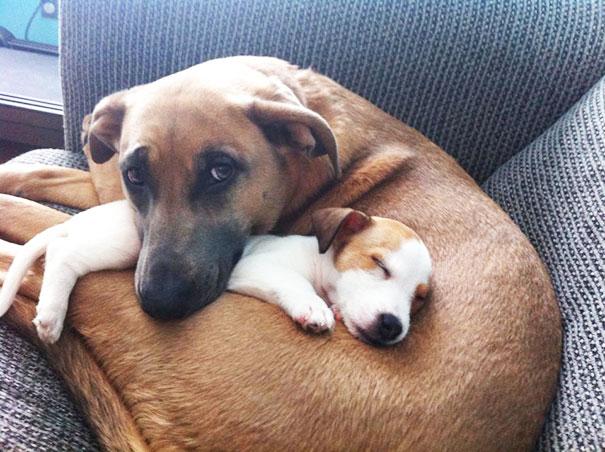 Big Dog Loves Her New Puppy Friend