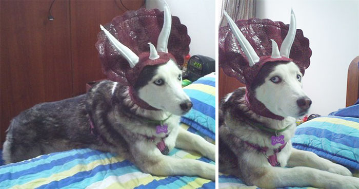 dog-costumes-dinosaur-triceratops-2 & Turn Your Dog Into A Dinosaur With This Triceratops Costume | Bored ...
