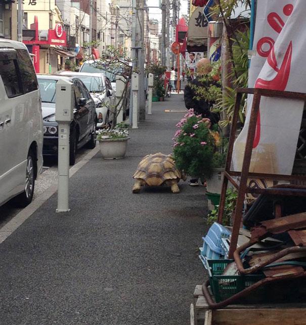 -idosos-man-walking pet-africano-estimulou-tartaruga-sulcata-Tóquio-Japão-3
