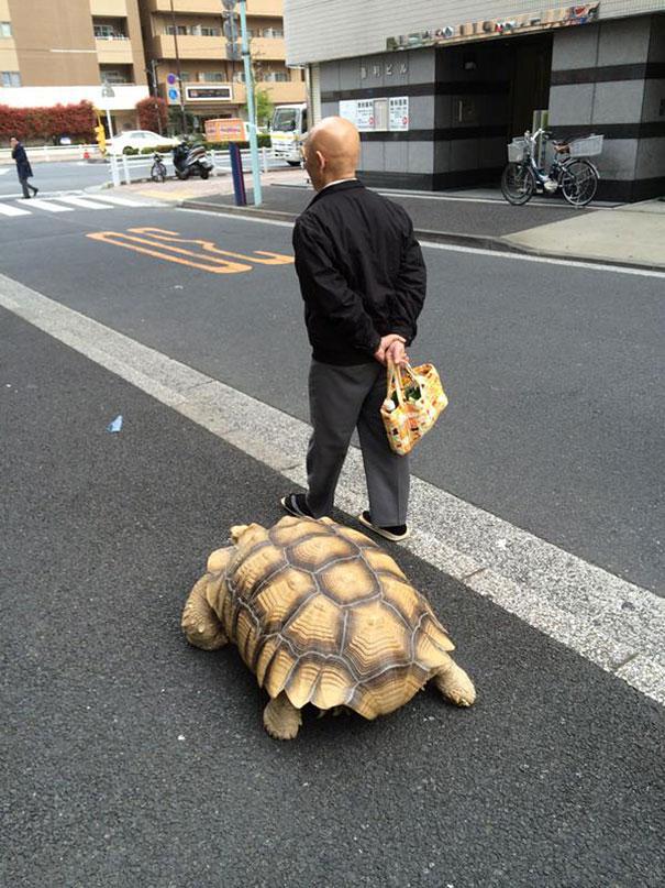 -idosos-man-walking pet-africano-estimulou-tartaruga-sulcata-Tóquio-Japão-4