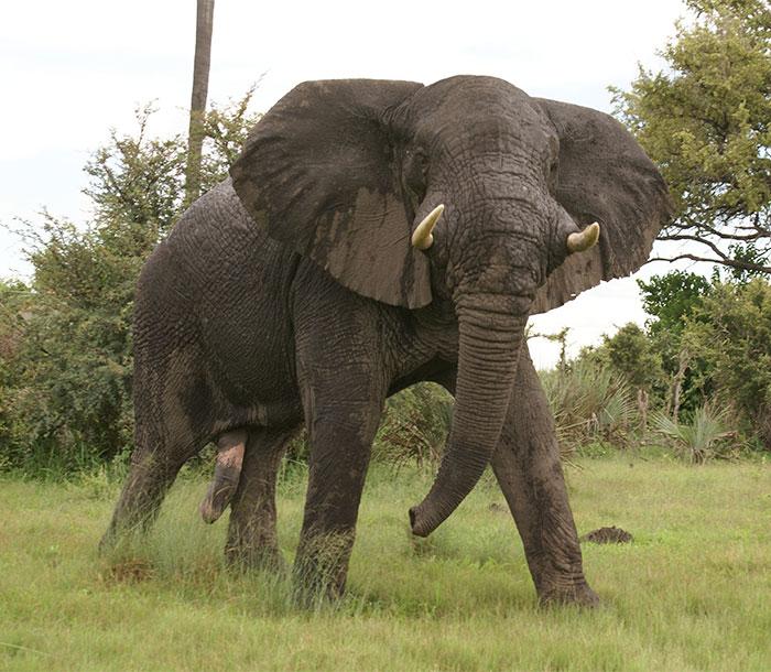 elephant-kills-professional-game-hunter-ian-gibson-87