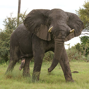 Ivory Hunter Trampled To Death By The Elephant He Was Hunting