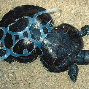 Tortoise Trapped By Plastic
