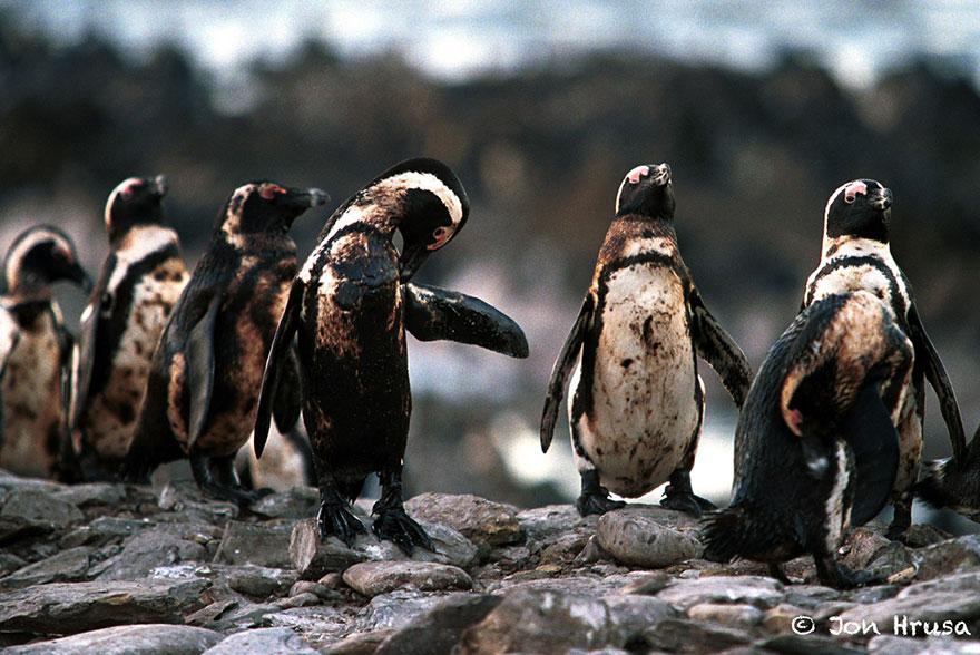 Oiled Penguins