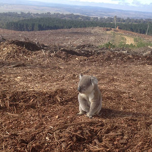 Koala Lost Her Home