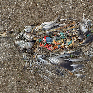 Albatross Killed By Excessive Plastic Ingestion In Midway Islands (North Pacific)