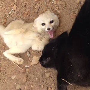 Rescued Fennec Fox Reunites With Its Best Friend - A Cat