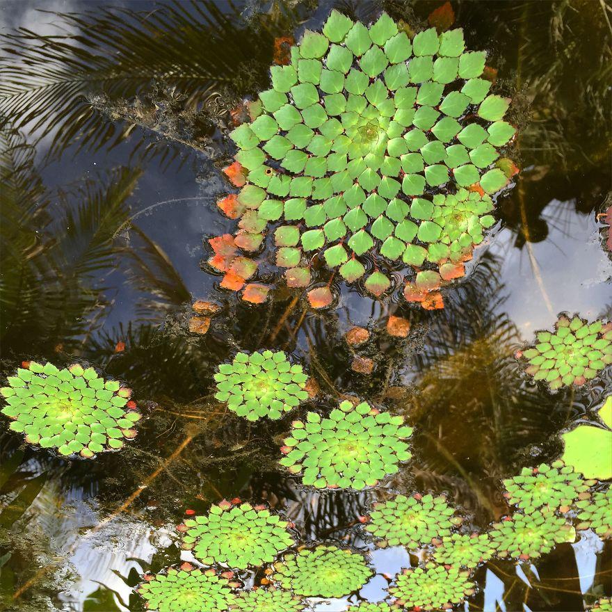Planta Mosaico - Ludwigia Sedioides
