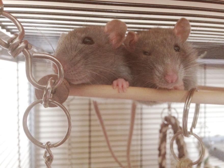 Cute Twin Rats