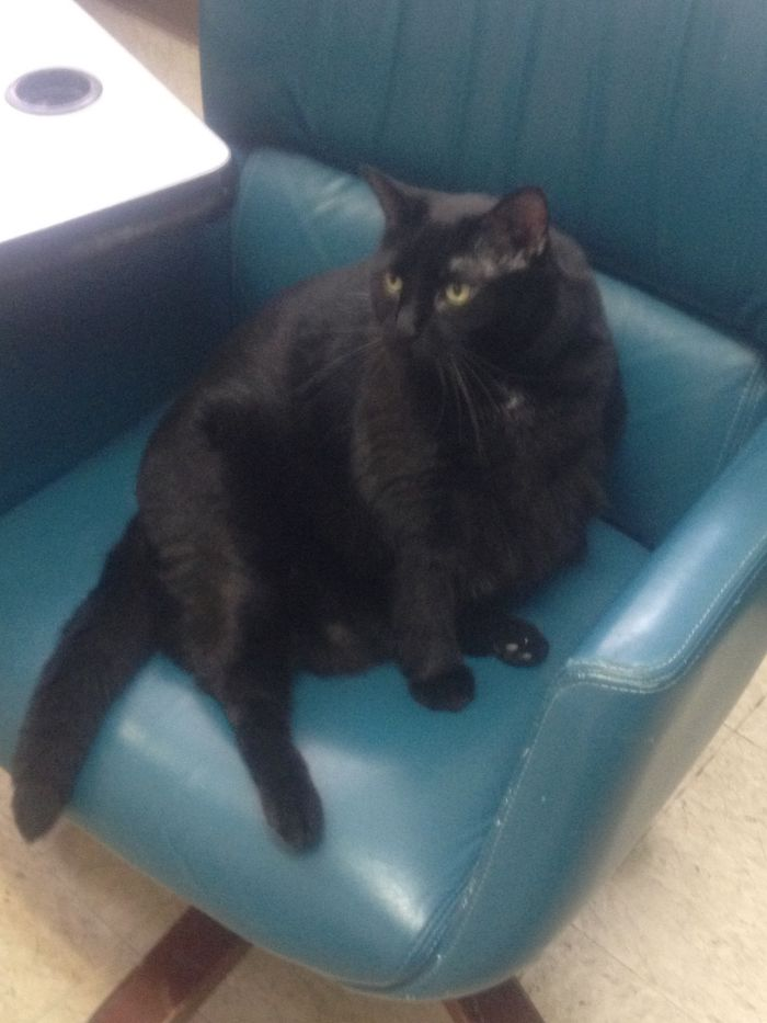 Sabrina Is A Shelter Kitty Looking For Her Forever Family! She Does Need To Lose Some Weight.:)