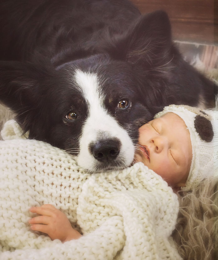 Australien Shepered As Nanny Dog