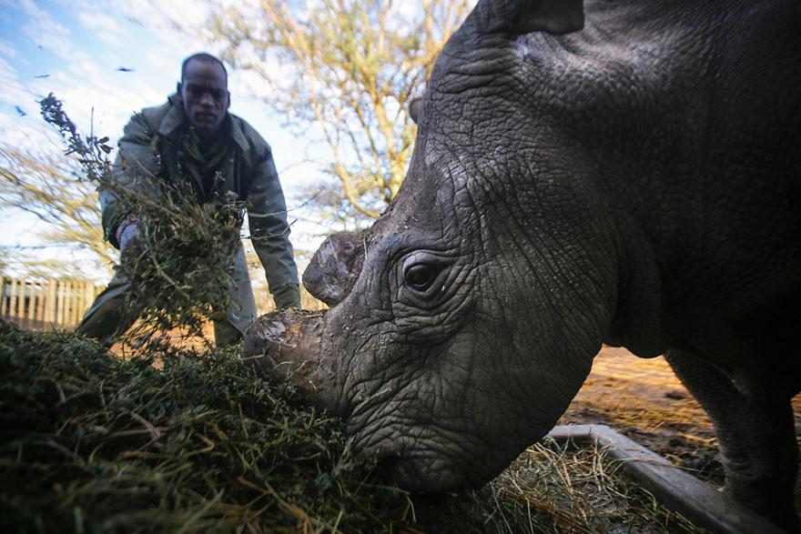 last-northern-white-rhinoceros-conservation-rangers-kenya-3