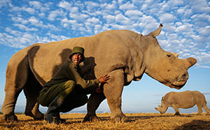 Rangers Protect The Last Remaining Male Northern White Rhino In The World