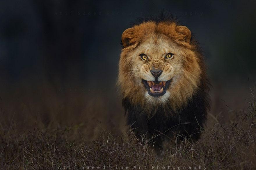 lion-attack-photo-portrait-wildlife-phot