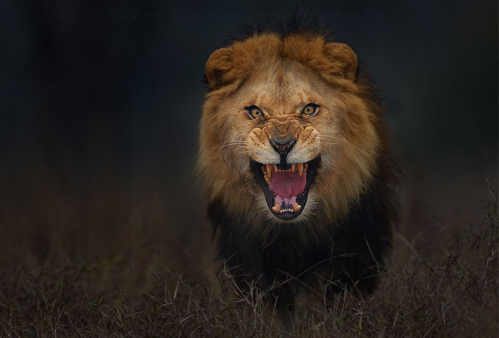 Photographer Shoots Angry Lion Photo Moments Before It Jumped At Him To Attack