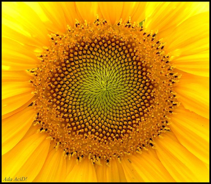 (another) Sunflover Mandala