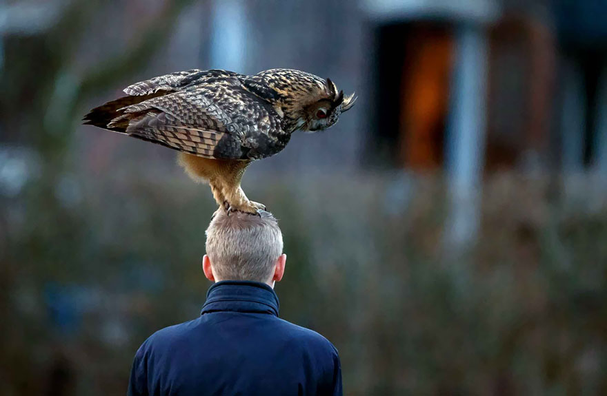 owl-lands-on-head-netherlands-noordeinde-2