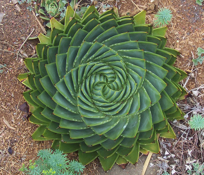 20+ Photos Of Geometrical Plants For Symmetry Lovers
