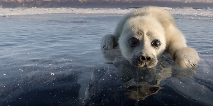 Cute Baby Seal Captured By Russian Photographer