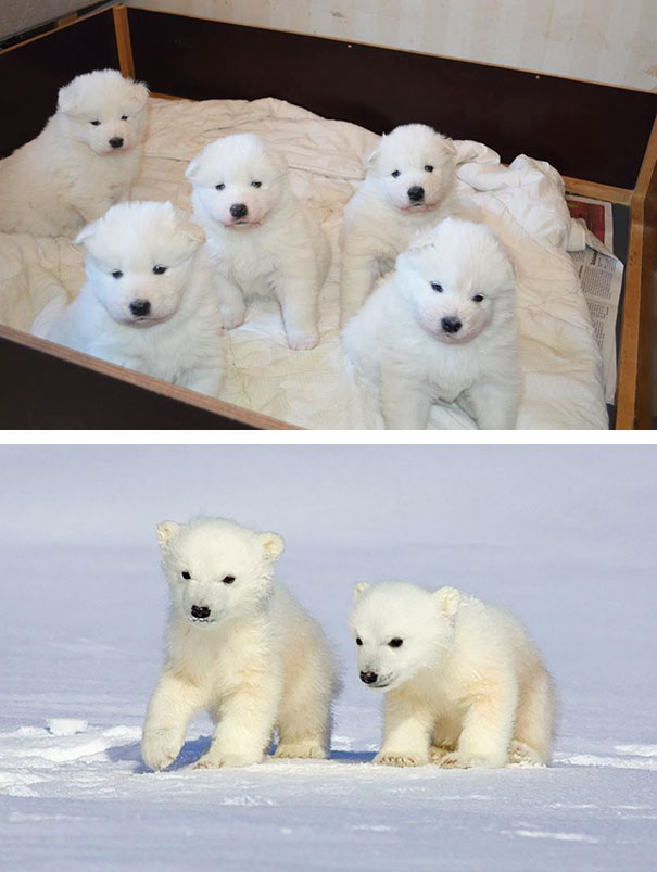 Baby Samoyeds Look Like Little Polar Bears