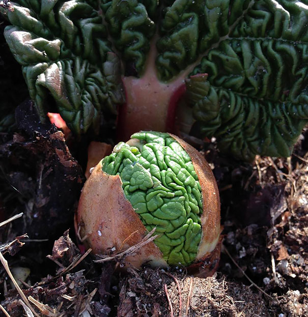 Rhubarb Sprouts Look Like Little Green Alien Brains