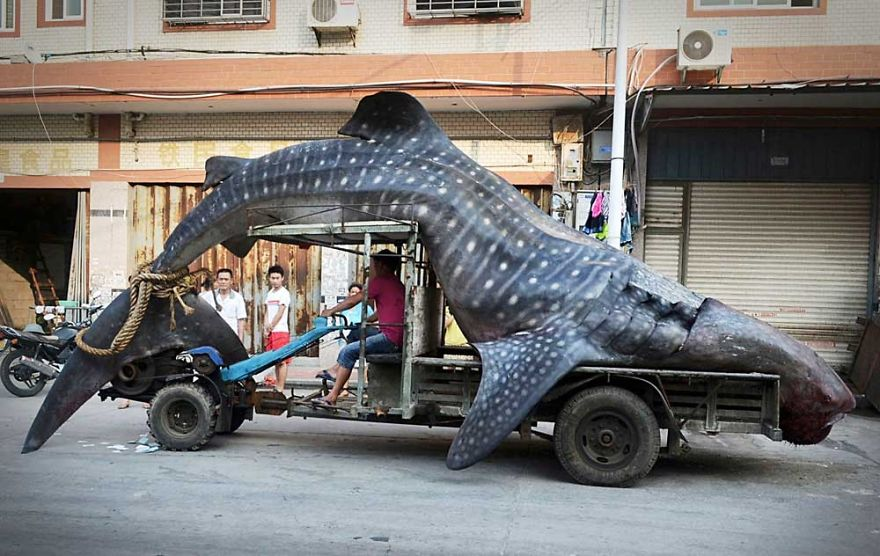 Whale Shark On Transport