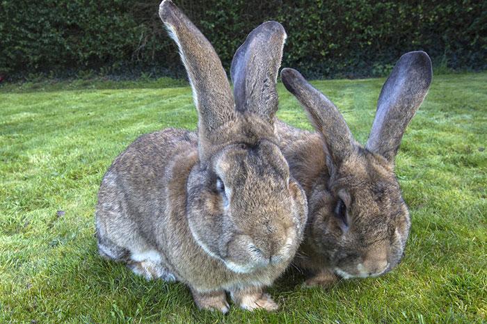 worlds-largest-rabbit-darius-jeff-2