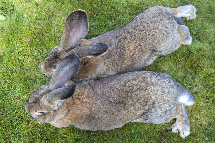 Darius Is The World's Biggest Bunny, But His Son May ...