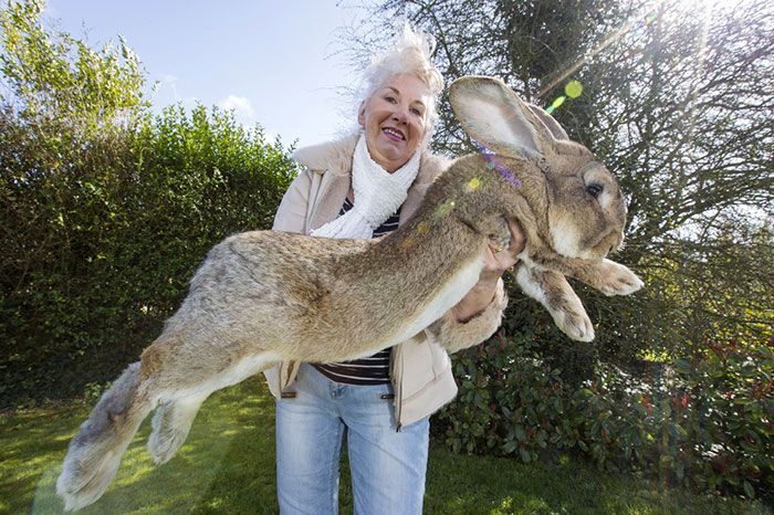 worlds-largest-rabbit-darius-jeff-6