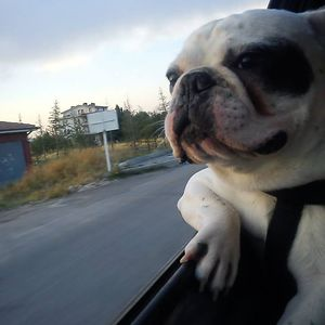 Cool Bulldog Riding Back To Home :)