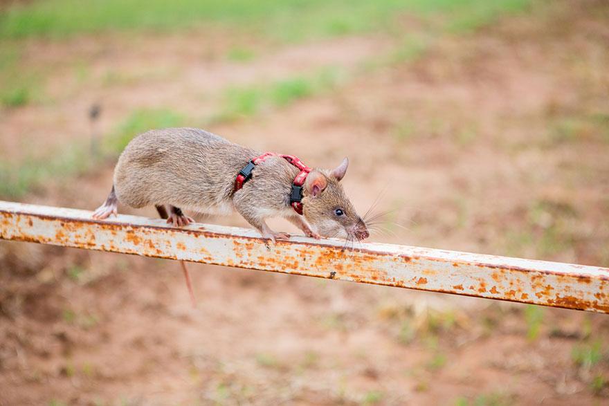 20hero-rats-bomb-demining-africa-apopo-20