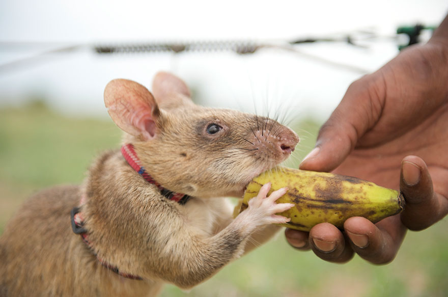 24hero-rats-bomb-demining-africa-apopo-24