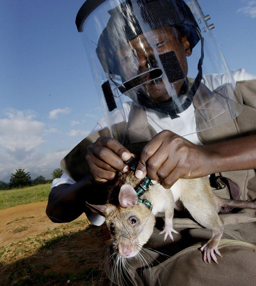 34hero-rats-bomb-demining-africa-apopo-35