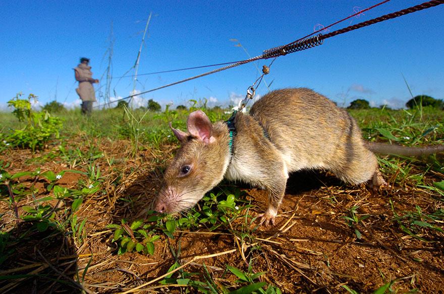 34hero-rats-bomb-demining-africa-apopo-39