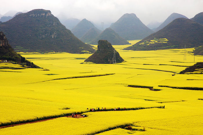 Canola Flower Field -china