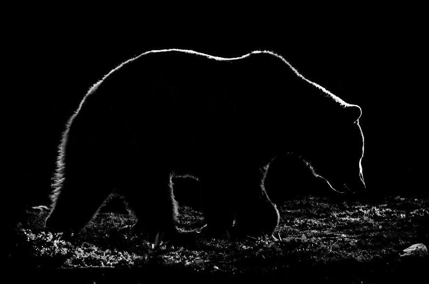 bear - Animal Outlines