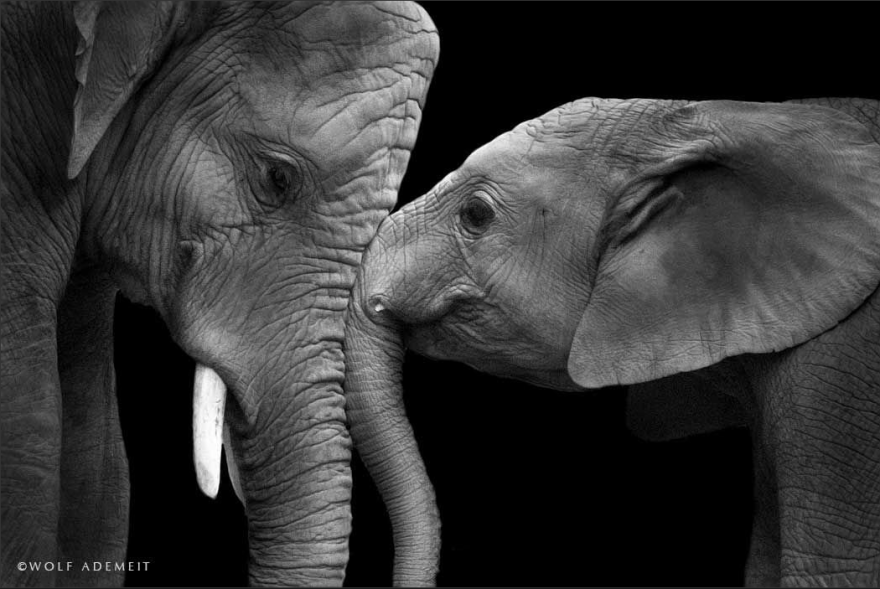 Elephant Love: Photographer Shows The Emotional Side Of ... - photo#3