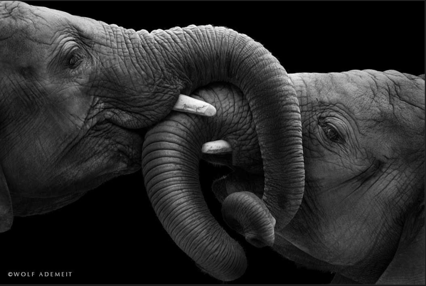 Elephant Love: Photographer Shows The Emotional Side Of ... - photo#45
