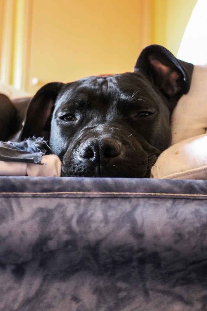 Doggy Portraits; Pitbull Edition – Reggae