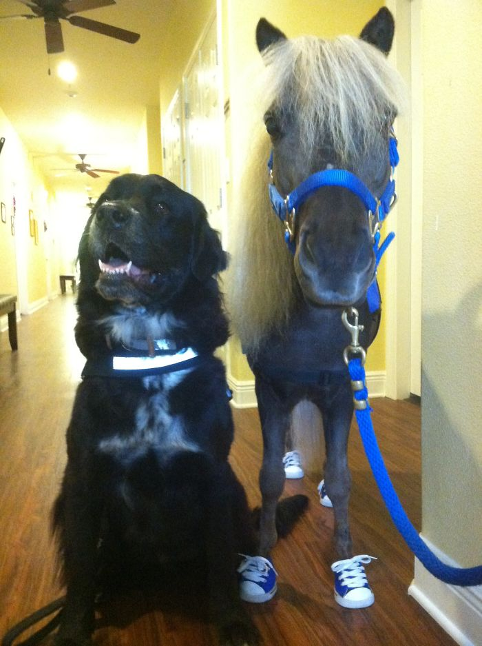 Scooby Boo The Mini Horse And Bear The Newfie Visiting Elderly