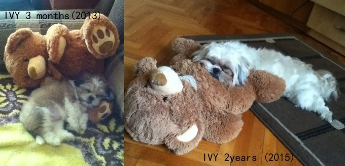 My Little Shih-tzu ,ivy And Her Best Friend - The Teddy Bear