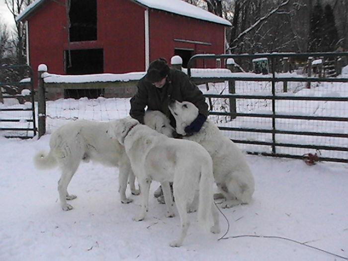 My Wonderful Livestock Guardian Dogs Louie, Tiberius, And Cuchulain